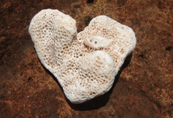 korallenherz
